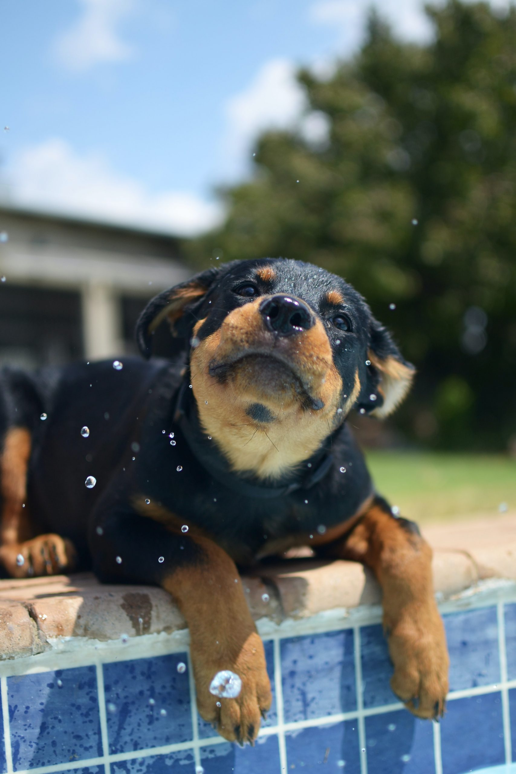Puppy by pool